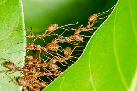 hormiga hoja: Las hormigas rojas construyen su casa en concepto de potencia el trabajo en equipo Foto de archivo