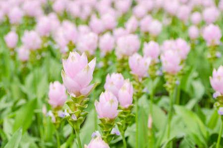 Curcuma alismatifolia or Siam tulip or Summer tulip in the garden nature Thailand photo