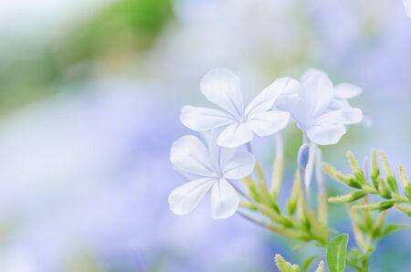 auriculata: Plumbago Auriculata  or Cape Plumbago or Cape Leadwort or Blue Plumbago in the garden nature Stock Photo