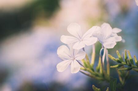 auriculata: Plumbago Auriculata  or Cape Plumbago or Cape Leadwort or Blue Plumbago in the garden nature vintage