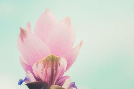 Curcuma alismatifolia or Siam tulip or Summer tulip in the garden nature Thailand vintage photo