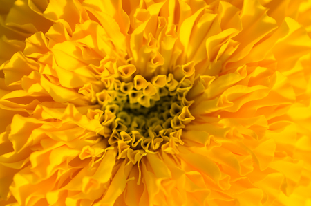 tagetes: Marigolds or Tagetes erecta flower in the nature or garden