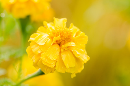 Marigolds or Tagetes erecta flower in the nature or garden photo