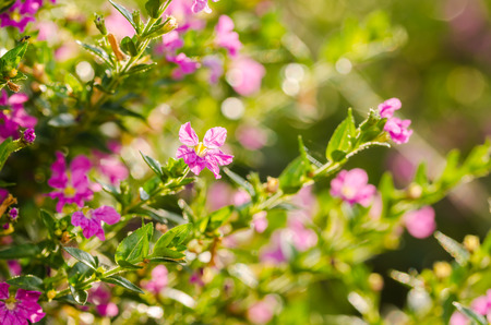 elfin: Pink Pink Cuphea hyssopifolia or false heather or Mexican heather or Hawaiian heather or elfin herb flower flower in the garden or nature park Thailand Stock Photo