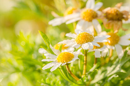 White daisy or Leucanthemum vulgare or oxeye daisy and water drops in the garden photo