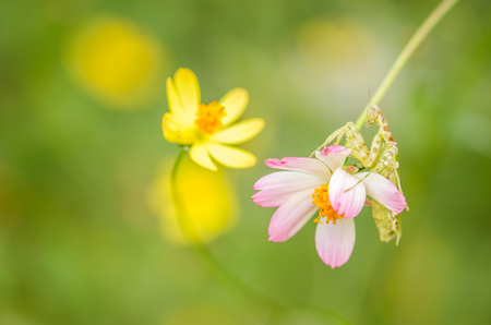 Cosmos sulphureus  or Sulfur Cosmos or Yellow Cosmos and mantis in the garden or nature park photo