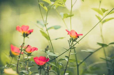 Common Purslane or Verdolaga or Pigweed or Little Hogweed or Pusley flower in the garden vintage photo