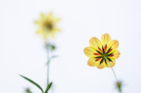 Cosmos sulphureus  or Sulfur Cosmos or Yellow Cosmos in the garden or nature park photo