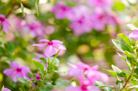 Cape Periwinkle Stock Photos And Images - 123RF