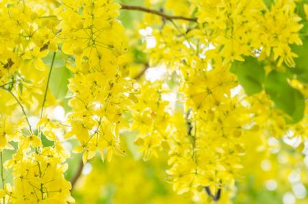 Golden shower or Cassia fistula flower in the garden or nature park Thailand