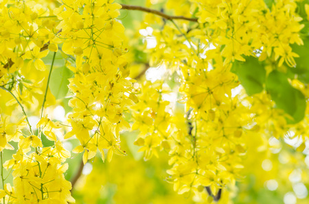 Golden shower or Cassia fistula flower in the garden or nature park Thailand