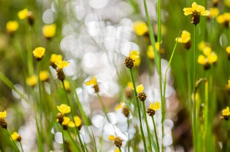 eriocaulaceae: Xyris yellow flowers or Xyridaceae wild flower in Thailand
