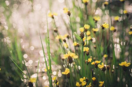 eriocaulaceae: Xyris yellow flowers or Xyridaceae wild flower in Thailand vintage