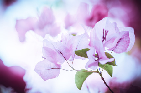 Paper flowers or Bougainvillea in the garden or nature park vintage Stock Photo