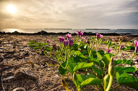 morning glory family: Morning glory or Convolvulaceae flowers or Bindweed Family in the nature beach sea