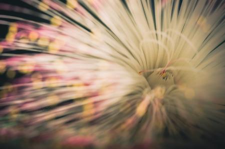 barringtonia: Fish Poison Tree or Putat or Sea Poison Tree or Barringtonia asiatica flowers in the nature vintage