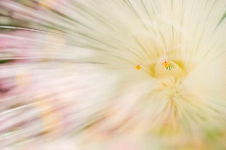 barringtonia: Fish Poison Tree or Putat or Sea Poison Tree or Barringtonia asiatica flowers in the nature