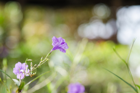 snapdragon: Ruellia tuberosa or Minnie Root or Fever Root or Snapdragon Root or Sheep Potato in the garden