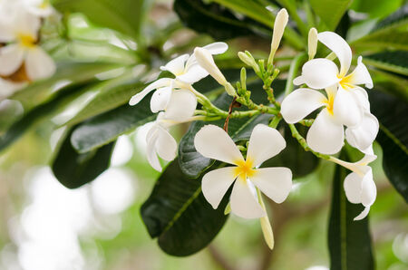 Frangipani or Pagoda tree or Temple tree flower in the garden or nature photo