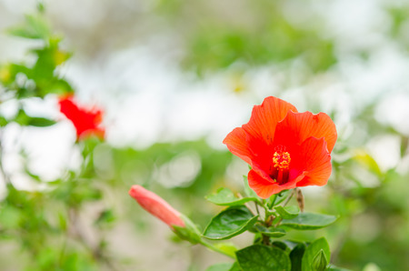 Shoe Flower or Hibiscus or Chinese rose or Hibiscus rosa sinensis flower in the nature or in the garden photo