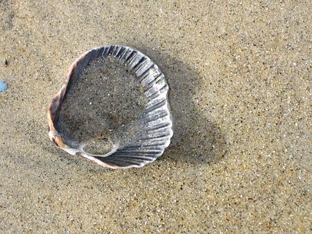seashell sandy scallop beach