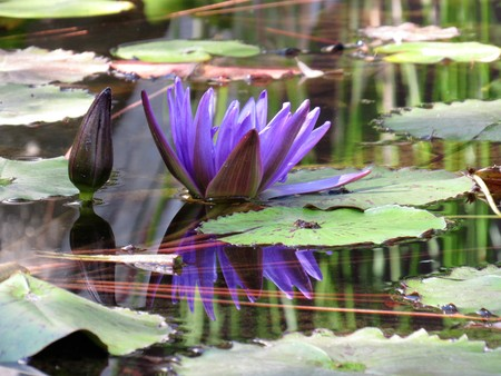 purple water lily with reflection