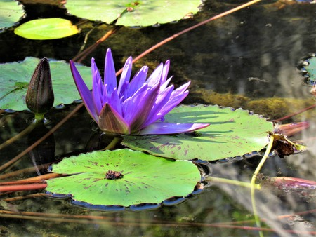 water lily purple flower Banco de Imagens