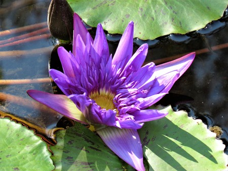 purple water lily close up