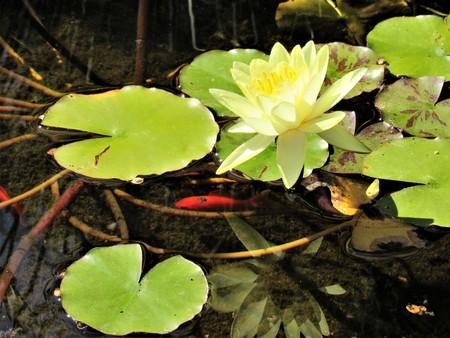water lily yellow goldfish