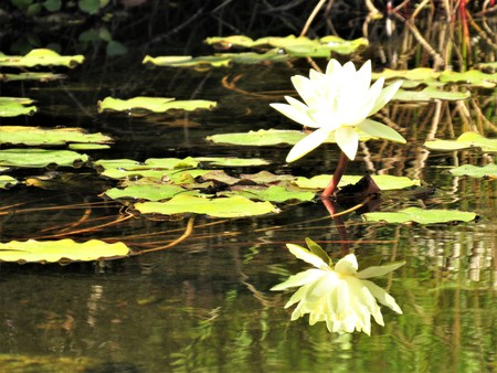 water lily yellow off center