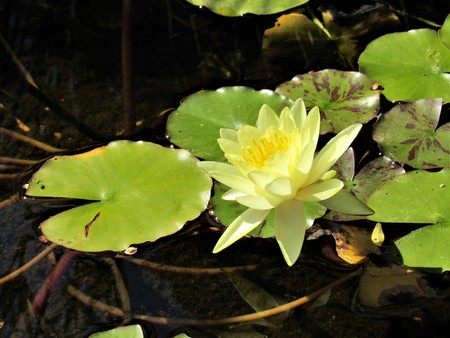 yellow water lily Banco de Imagens
