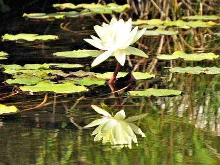water lily yellow reflection