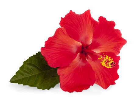 빨간색 히 비 스커 스 흰색 배경에 고립의 밝은 큰 꽃