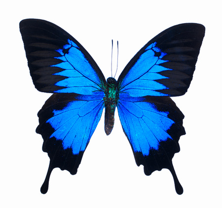 Ulysses Butterfly (Papilio ulysses) on white background.
