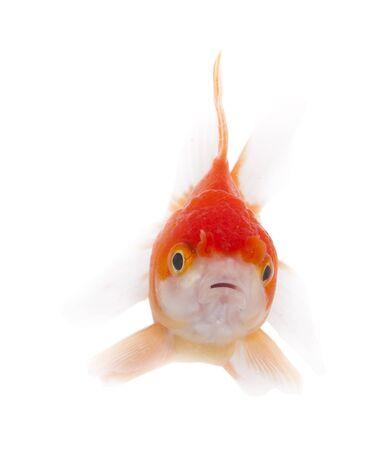 gold fish bowl: Goldfish on white background