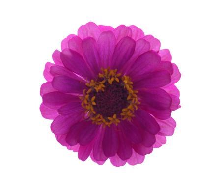 Zinnia flower Collection,set of zinnia,pink ,red-orange,soft pink,yellow, isolated on white background