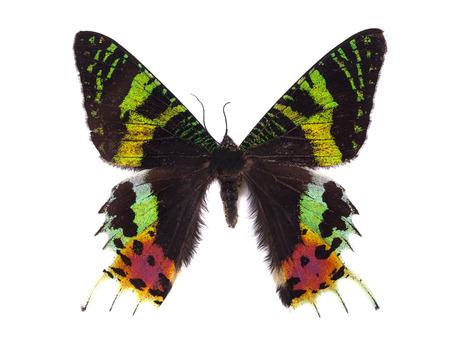 Butterfly Madagascan Sunset Moth Macro Isolated On White Backgro Reklamní fotografie