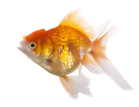 gill: Goldfish on White Background