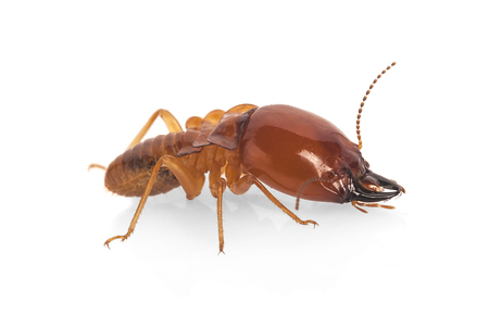 termite isolate on white Stock Photo
