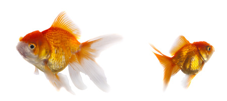 carassius auratus: Gold Fish Isolated on White Background
