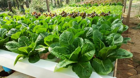 monoculture: Organic hydroponic vegetable garden open farm