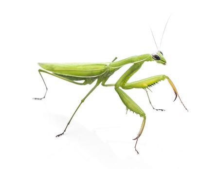 Mantodea, Mantis on white background Archivio Fotografico