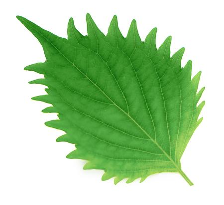 fresh green shiso leaf on white background 免版税图像