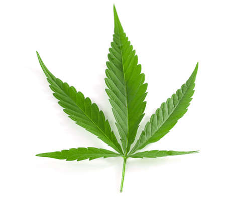 Green cannabis leaves isolated on white background