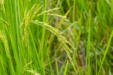 Close up of green paddy rice. Green ear of rice in paddy rice field under sunrise, Blur Paddy rice field in the morning background