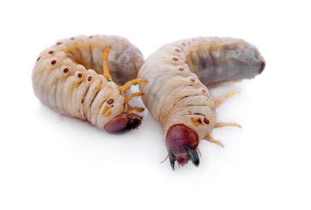 Image of grub worms, Coconut rhinoceros beetle (Oryctes rhinoceros), Larva on white background