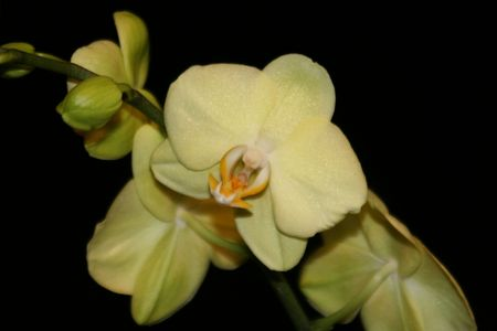 Yellow Orchid Imagens