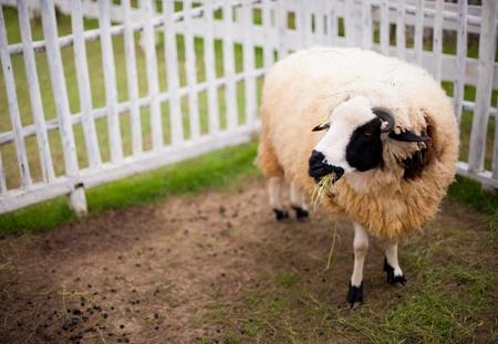 Sheep eating a grass in the garden at lampang, thailand Stock Photo - 16707766
