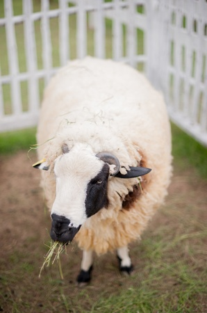 Sheep is eating grass in the park lampang, thailand Stock Photo - 16707761