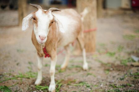 little white goat in thailand Stock Photo - 16875971
